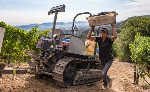 2015 Napa Valley Harvest picking_reds