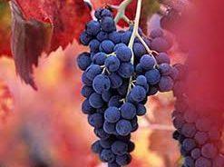 Barbera wine thumbnail