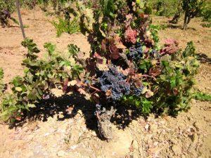 Santa Clara Wine FortinoCarignan