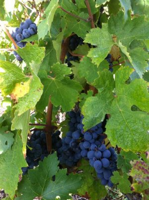 Bordeaux Harvest 2013