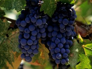 Wine Oh TV Merlot