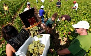 Wine Oh TV Wine Harvest Around the World