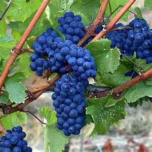 Wine Oh TV Pinot Noir